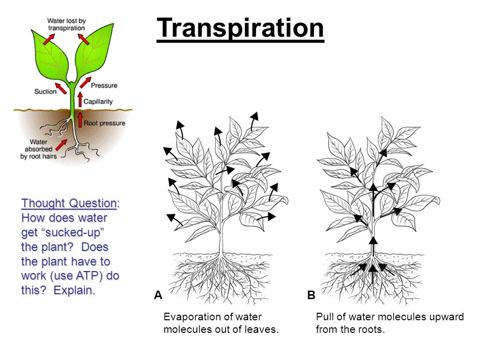 Transpiration Thought Question: How does water get sucked-up the plant Does the plant have to work (use ATP) do this Explain.