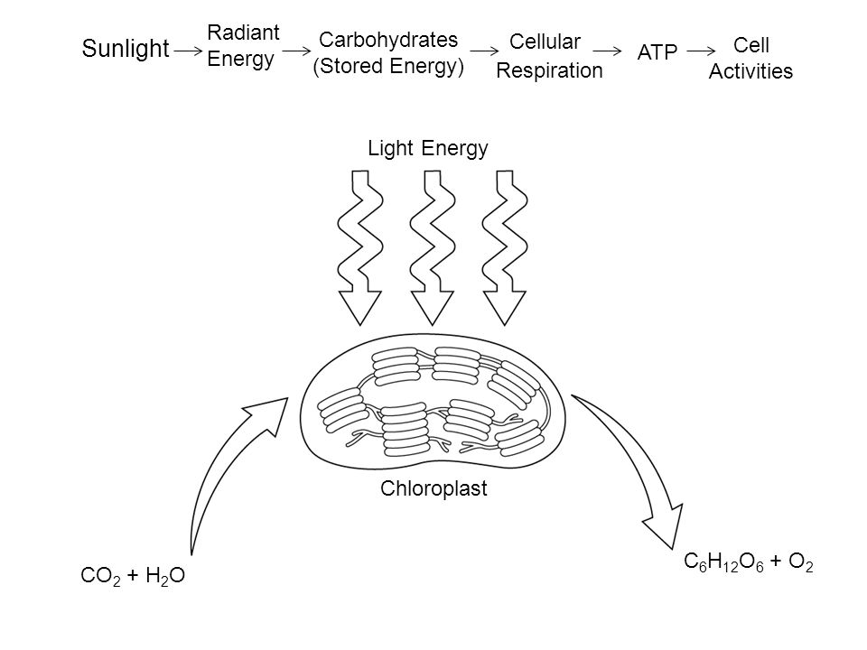 Cellular Sunlight Radiant Carbohydrates Energy Cell (Stored Energy)