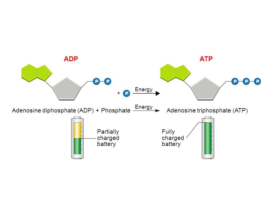ADP ATP Adenosine diphosphate (ADP) + Phosphate