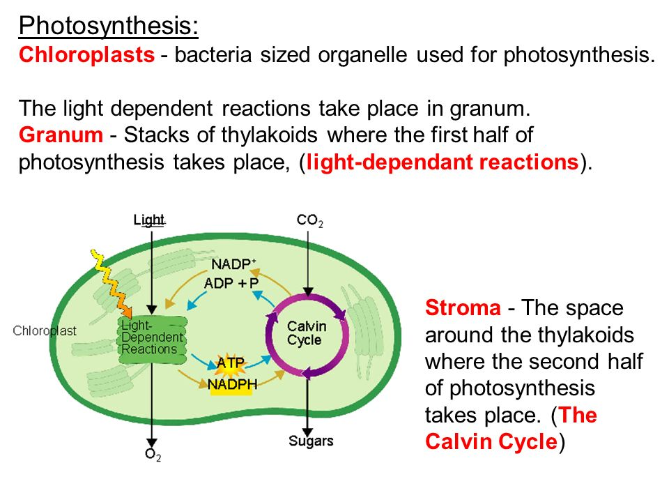 Photosynthesis: Chloroplasts - bacteria sized organelle used for photosynthesis. The light dependent reactions take place in granum.