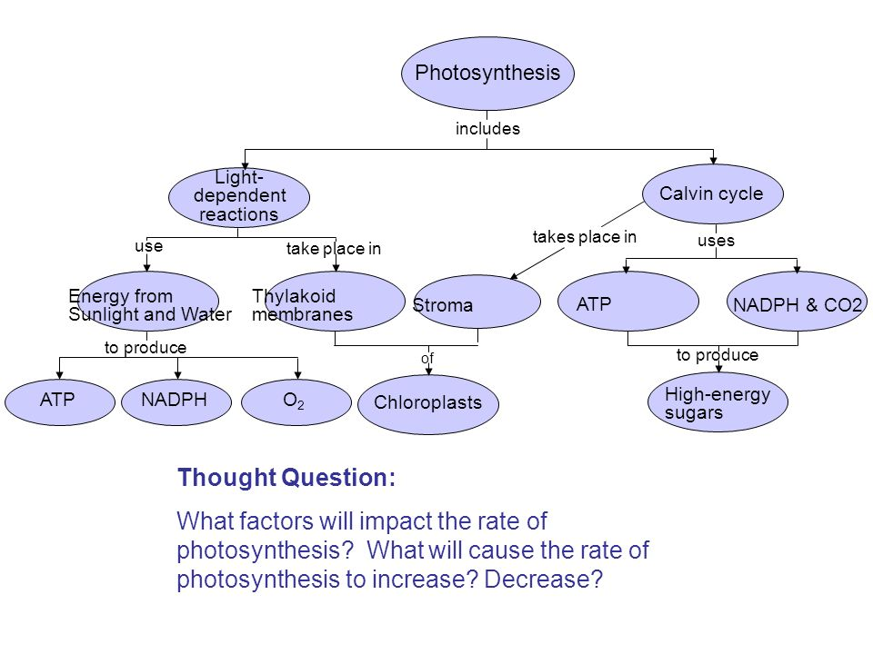 Photosynthesis includes. Light- dependent. reactions. Calvin cycle. takes place in. uses. use.