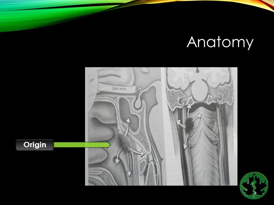 Anatomy Origin