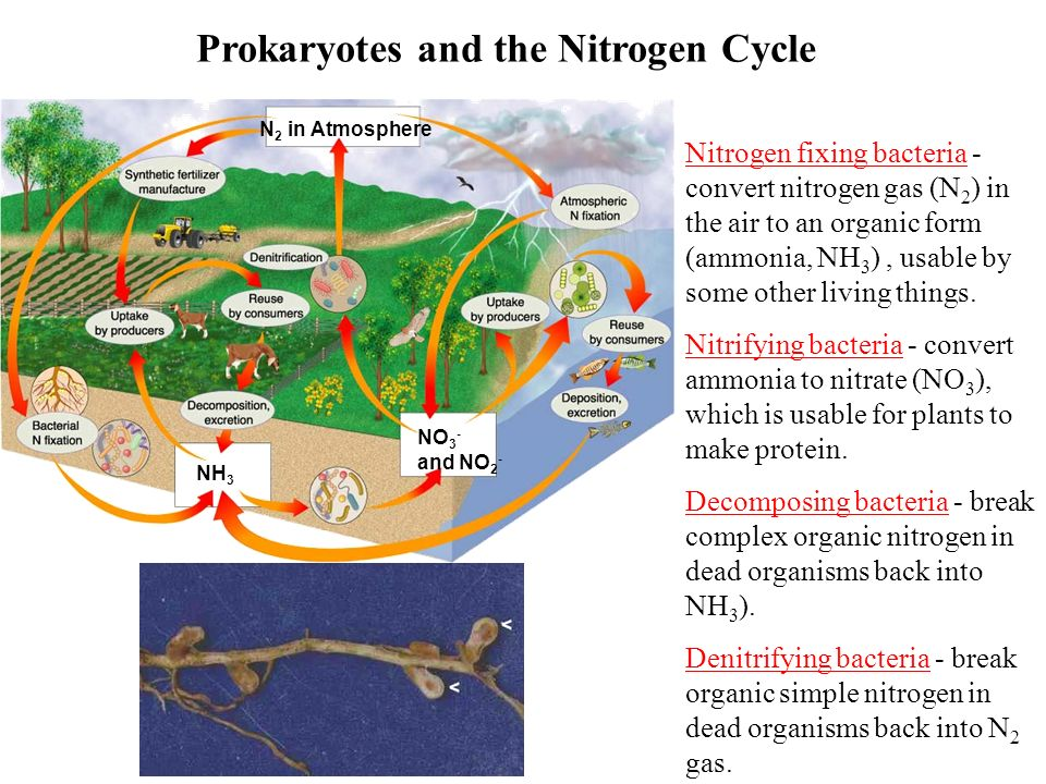 Prokaryotes and the Nitrogen Cycle