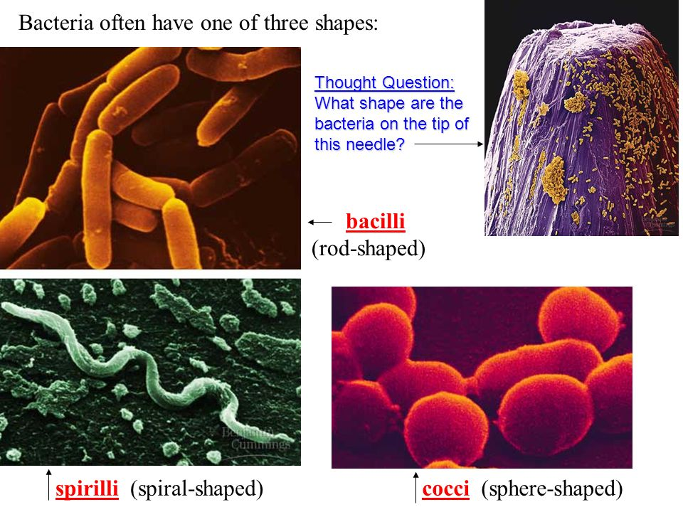 Bacteria often have one of three shapes: