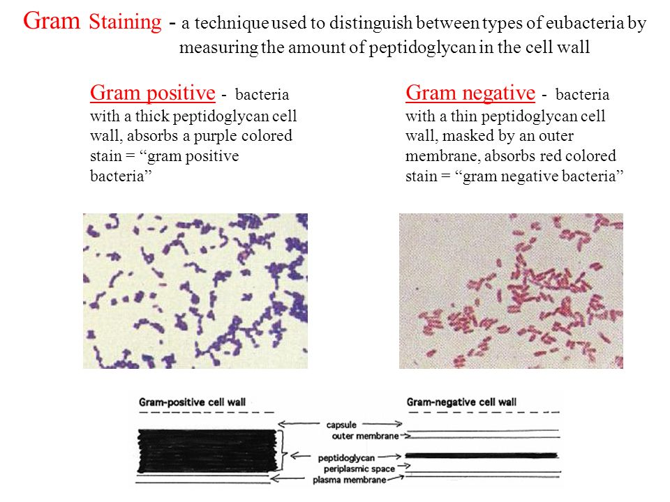 Gram Staining - a technique used to distinguish between types of eubacteria by measuring the amount of peptidoglycan in the cell wall
