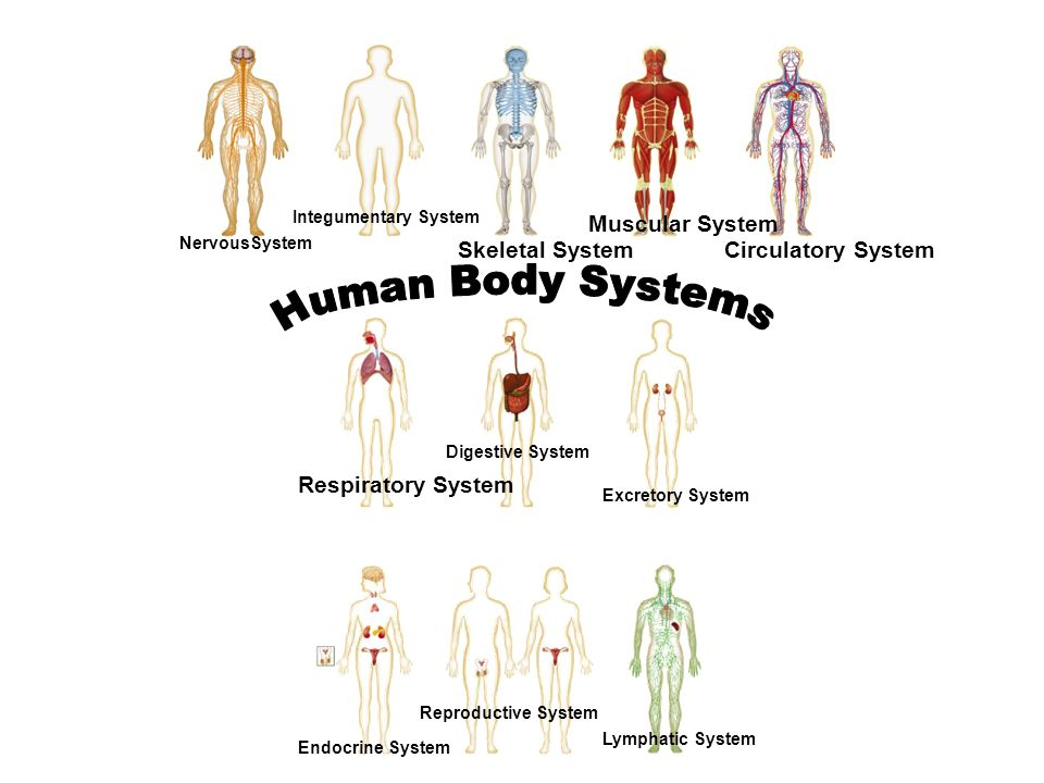 Human Body Systems Muscular System Skeletal System Circulatory System