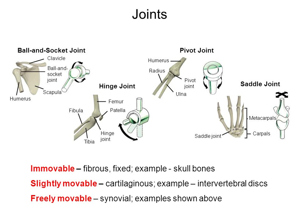 Joints Immovable – fibrous, fixed; example - skull bones