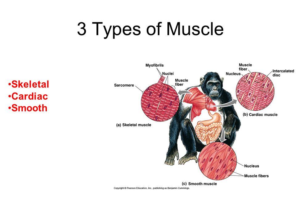 3 Types of Muscle Skeletal Cardiac Smooth