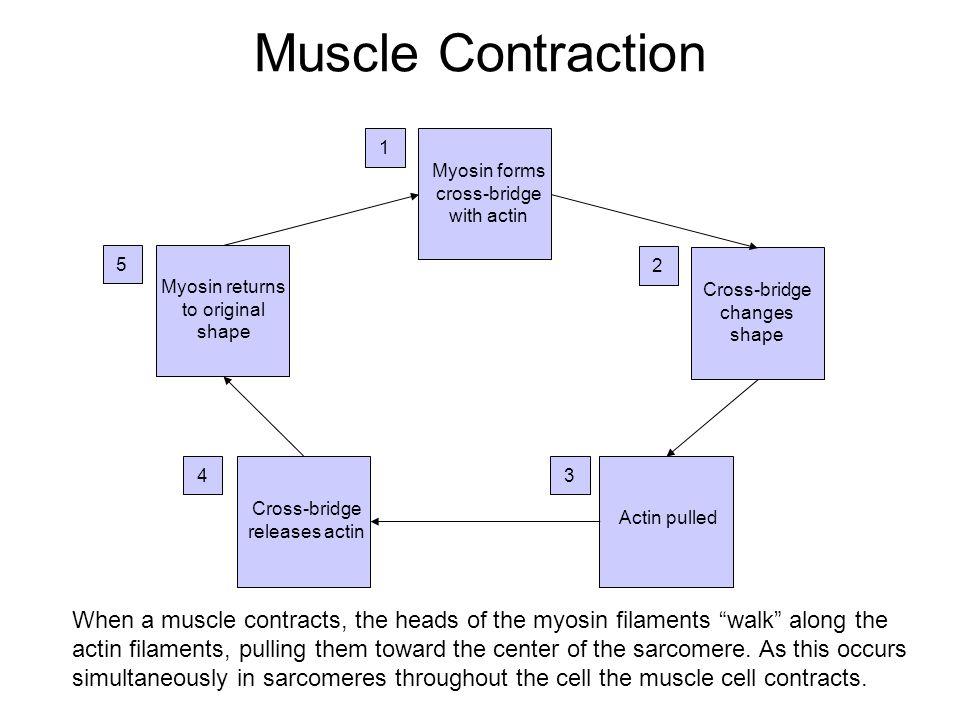 Muscle Contraction 1. Myosin forms cross-bridge with actin. 5. 2. Myosin returns to original shape.