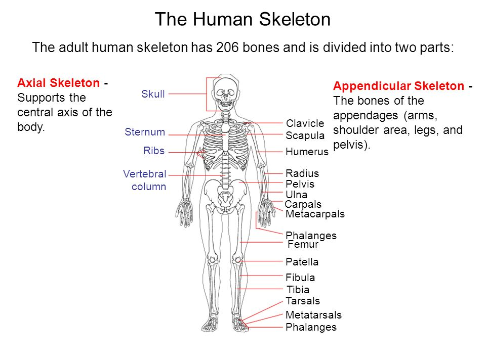 The adult human skeleton has 206 bones and is divided into two parts: