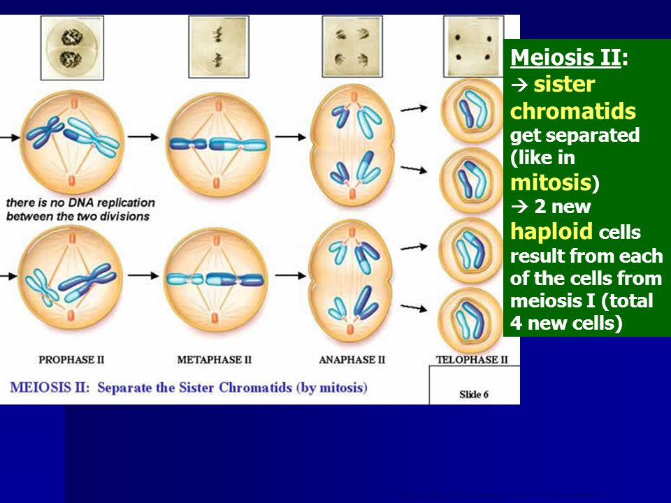 Meiosis II:  sister chromatids get separated (like in mitosis)