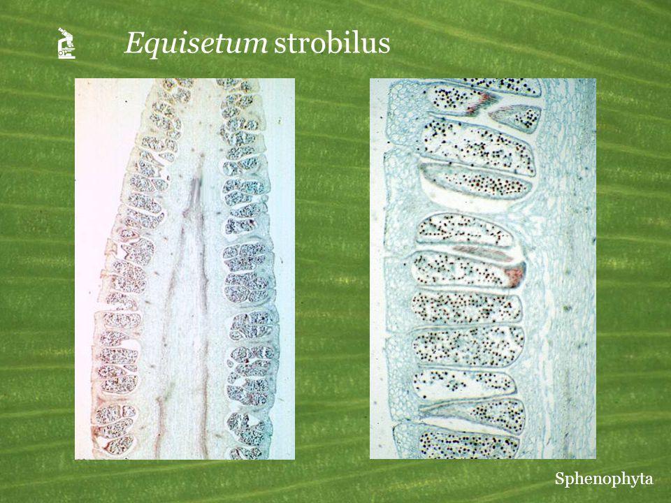 A Equisetum strobilus Sphenophyta