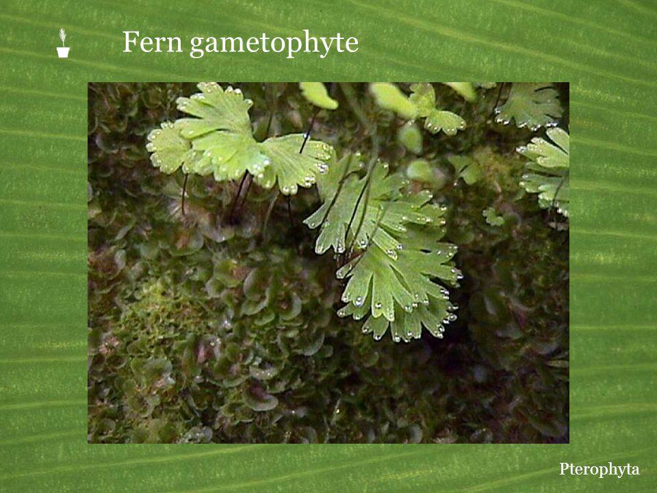 P Fern gametophyte Pterophyta