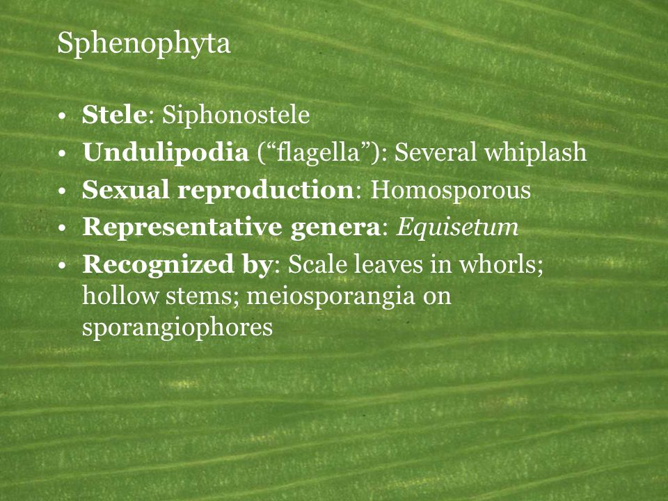 Sphenophyta Stele: Siphonostele