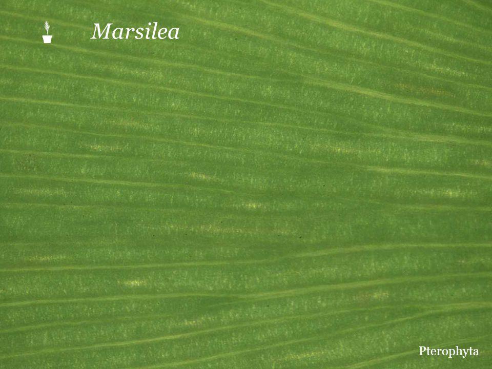 P Marsilea Pterophyta