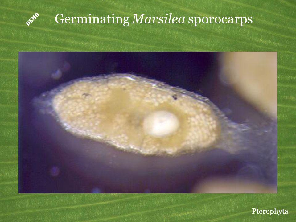 D Germinating Marsilea sporocarps