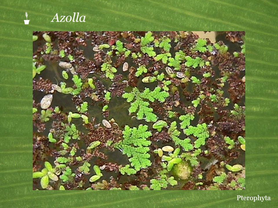 P Azolla The branching plants with tiny leaves are Azolla. The larger oval leaves belong to duckweed, a flowering plant.