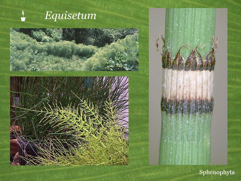 P Equisetum Sphenophyta