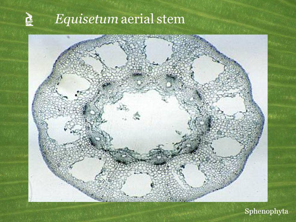 A Equisetum aerial stem