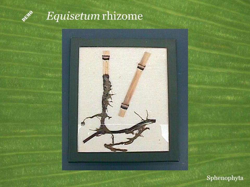 D Equisetum rhizome Sphenophyta