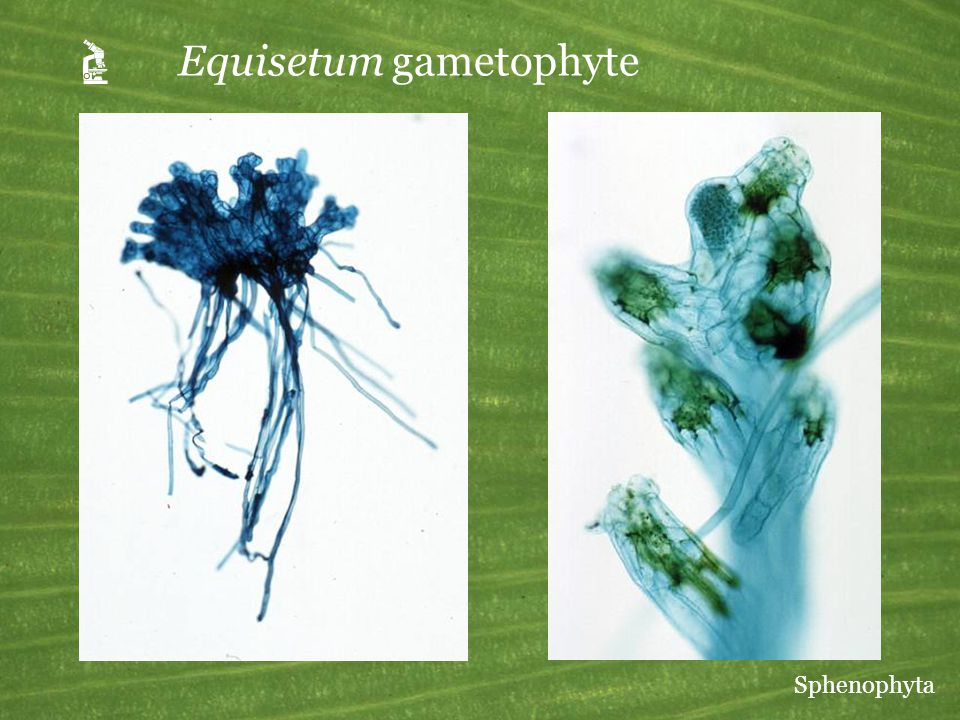 A Equisetum gametophyte