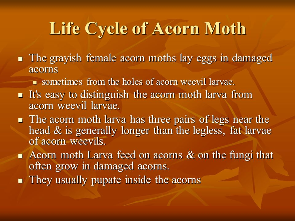 Life Cycle of Acorn Moth