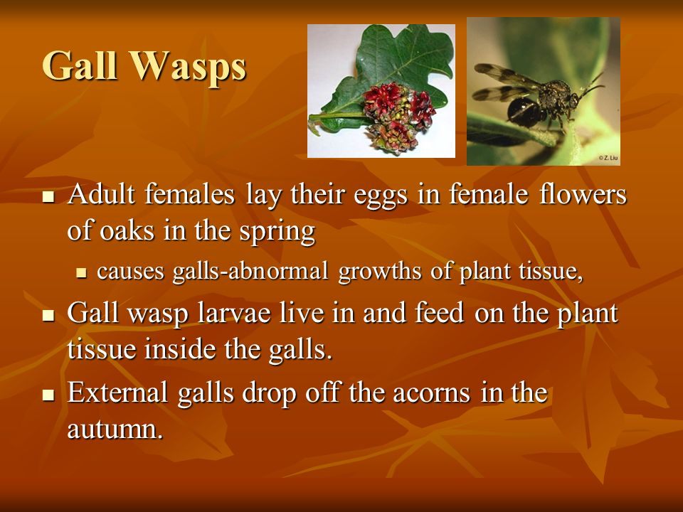 Gall Wasps Adult females lay their eggs in female flowers of oaks in the spring. causes galls-abnormal growths of plant tissue,