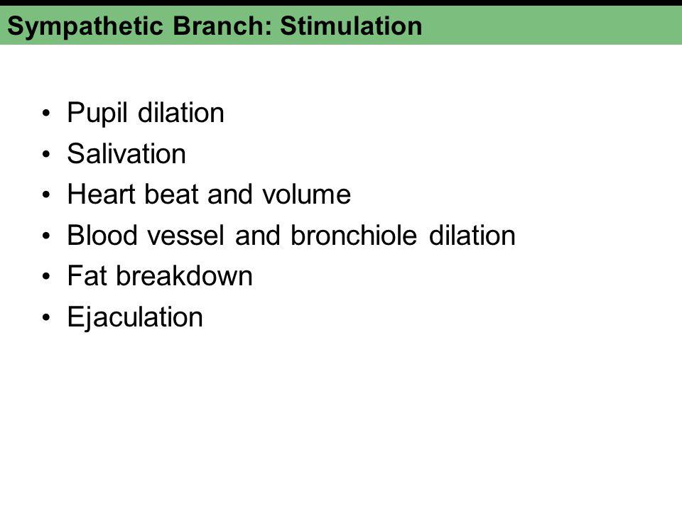Sympathetic Branch: Stimulation