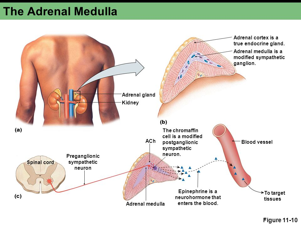 The Adrenal Medulla Figure 11-10 Adrenal cortex is a