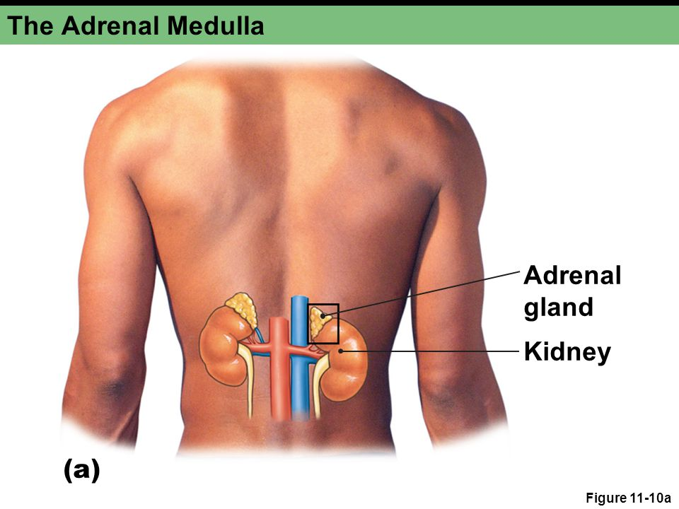 The Adrenal Medulla Adrenal gland Kidney (a) Figure 11-10a