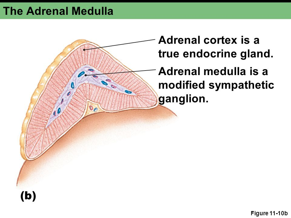 The Adrenal Medulla Adrenal cortex is a true endocrine gland.