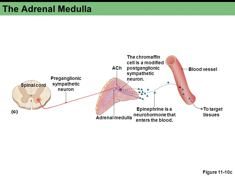 The Adrenal Medulla The chromaffin cell is a modified postganglionic