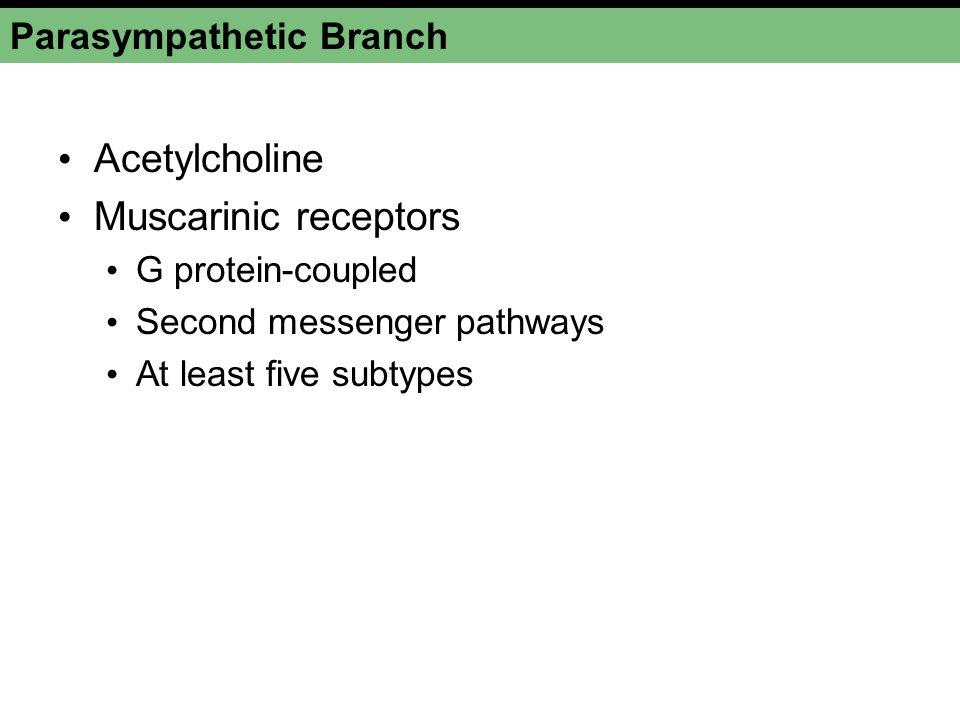 Parasympathetic Branch