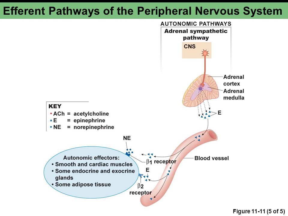 Efferent Pathways of the Peripheral Nervous System