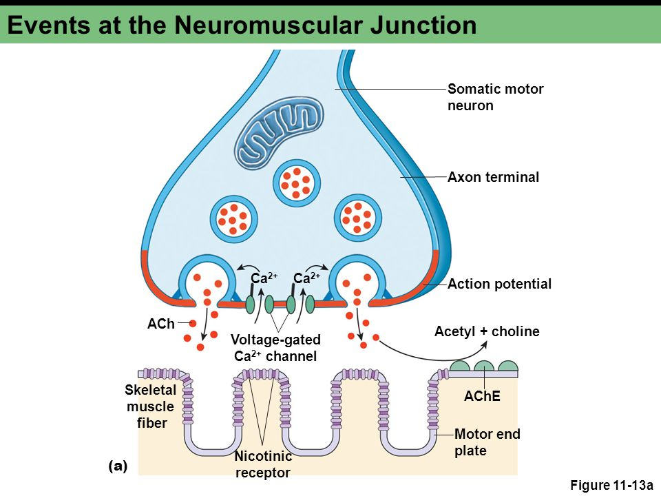 Events at the Neuromuscular Junction