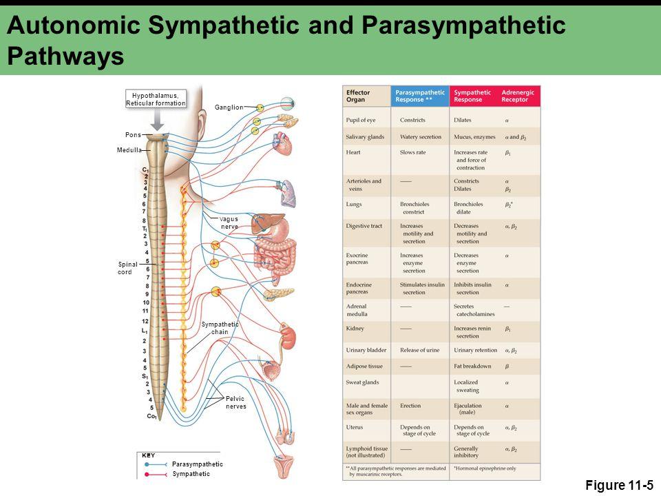 Autonomic Sympathetic and Parasympathetic Pathways
