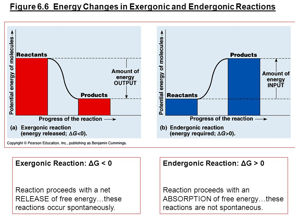 Figure 6.6 Energy Changes in Exergonic and Endergonic Reactions