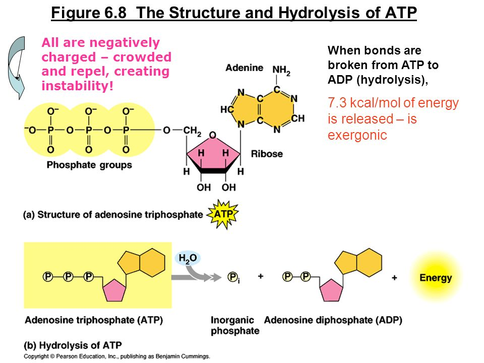 Figure 6.8 The Structure and Hydrolysis of ATP