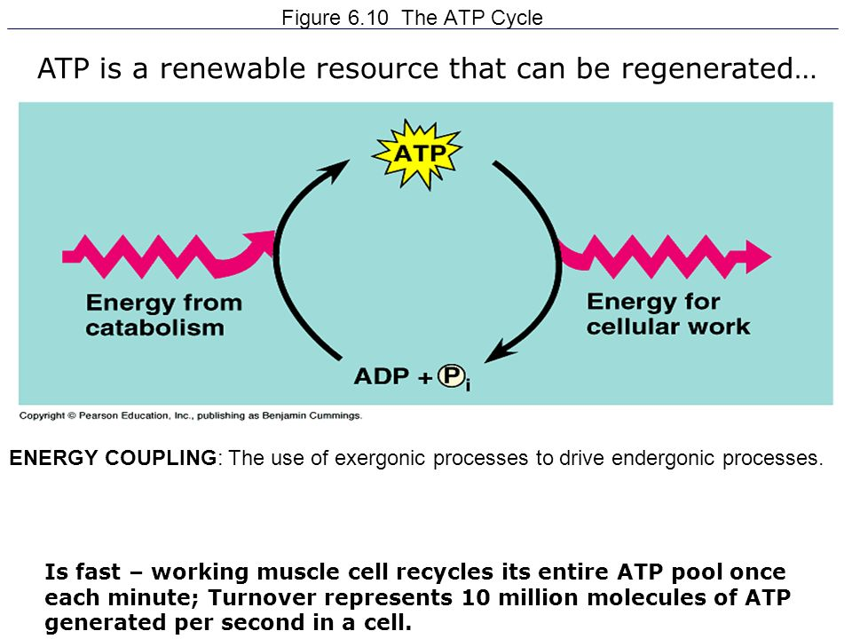 ATP is a renewable resource that can be regenerated…