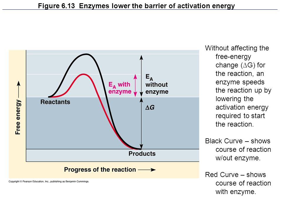Figure 6.13 Enzymes lower the barrier of activation energy