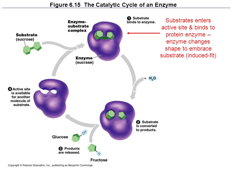 Figure 6.15 The Catalytic Cycle of an Enzyme