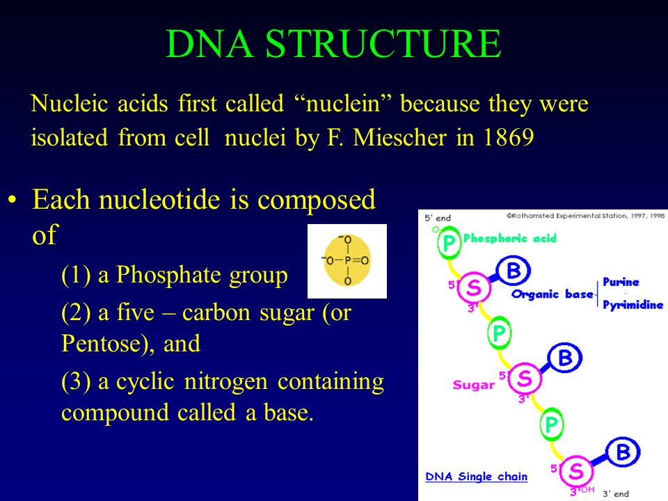 DNA STRUCTURE Each nucleotide is composed of