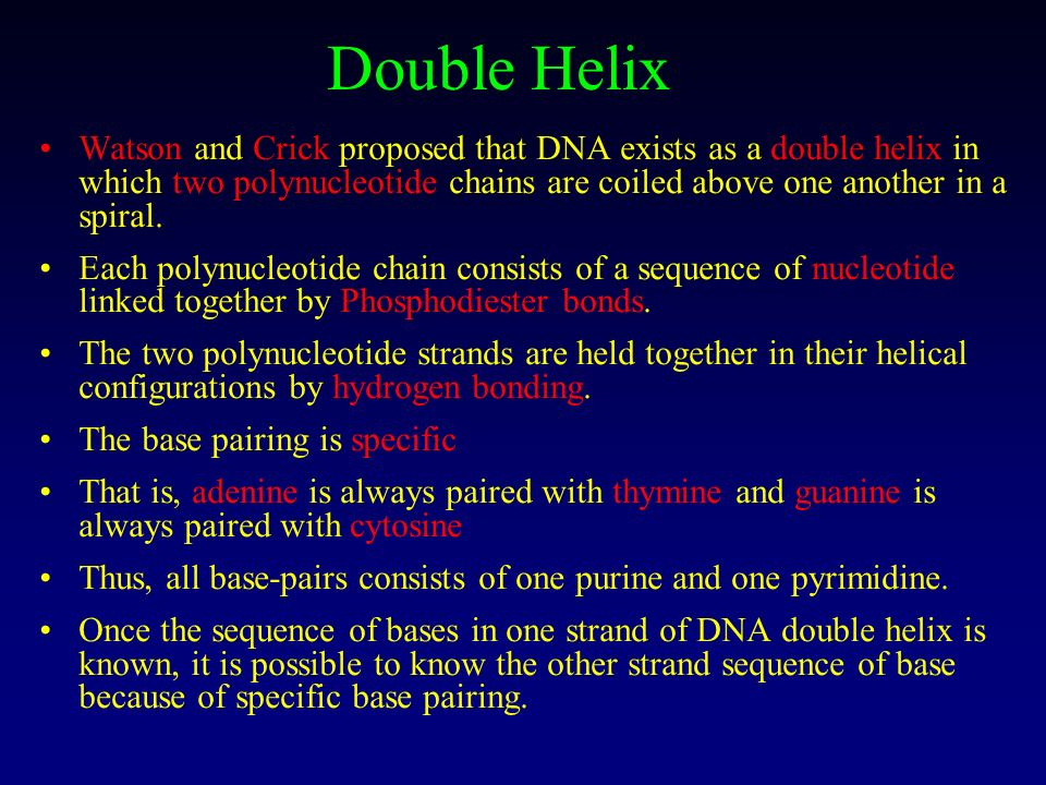 Double Helix Watson and Crick proposed that DNA exists as a double helix in which two polynucleotide chains are coiled above one another in a spiral.