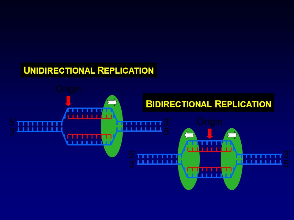 Origin 5' 3' UNIDIRECTIONAL REPLICATION Origin 5' 3' BIDIRECTIONAL REPLICATION