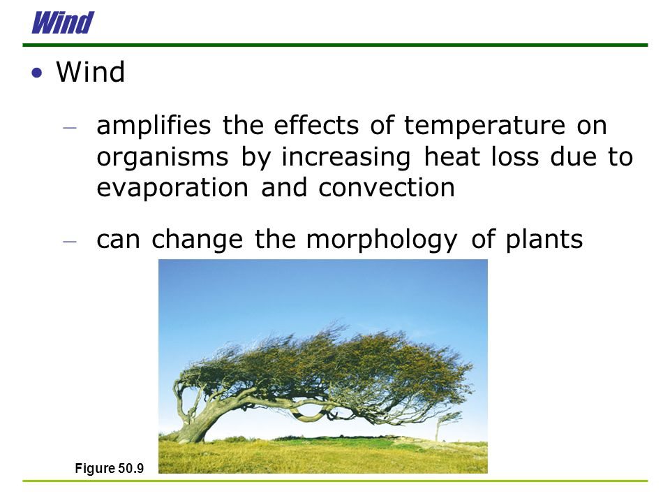 Wind Wind. amplifies the effects of temperature on organisms by increasing heat loss due to evaporation and convection.