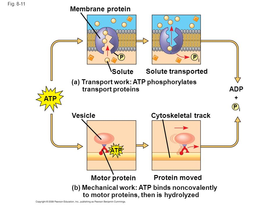 Membrane protein Solute Solute transported Vesicle Cytoskeletal track