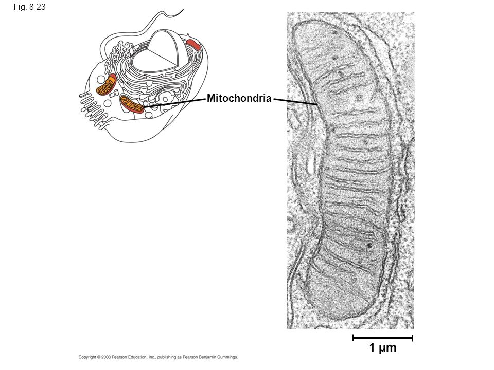 Fig. 8-23 Mitochondria. Structures within the cell help bring order to metabolic pathways. Some enzymes act as structural components of membranes.