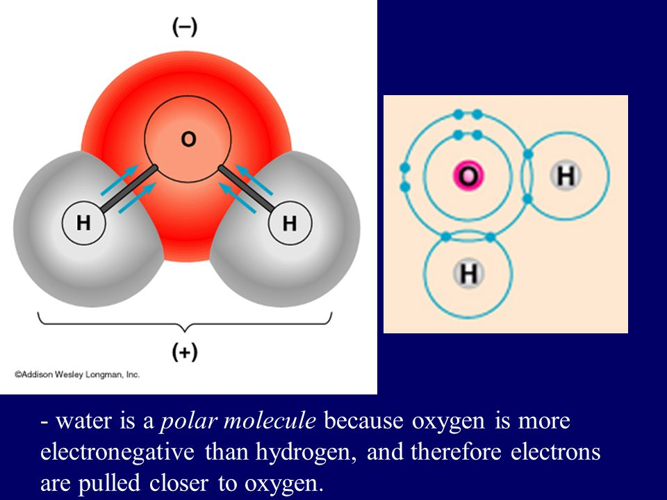 - water is a polar molecule because oxygen is more electronegative than hydrogen, and therefore electrons are pulled closer to oxygen.