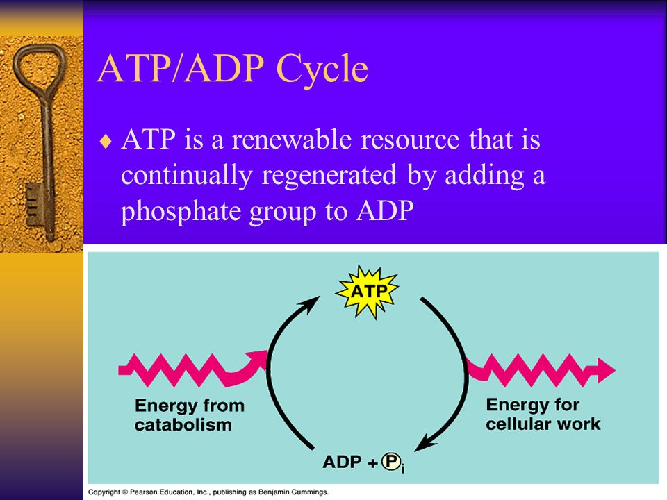 ATP/ADP Cycle ATP is a renewable resource that is continually regenerated by adding a phosphate group to ADP.