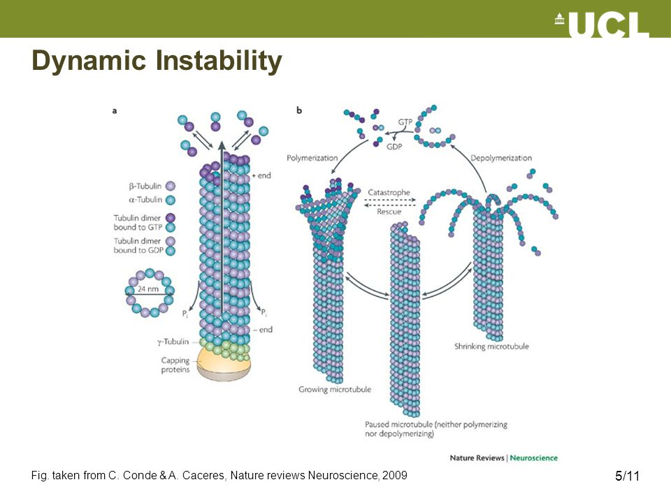 Dynamic Instability Fig. taken from C. Conde & A. Caceres, Nature reviews Neuroscience, 2009